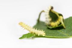Caterpillar de la polilla de seda del eri Imágenes de archivo libres de regalías