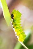 Caterpillar de la polilla del cometa Fotos de archivo libres de regalías