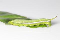 Caterpillar de la polilla del sitiene del macroglossum Imagen de archivo libre de regalías