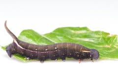 Caterpillar de la polilla del sitiene del macroglossum Foto de archivo libre de regalías