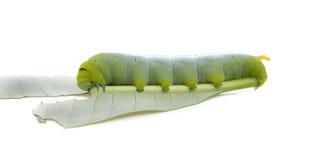 Caterpillar de papillon sur la feuille Photographie stock