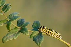 Caterpillar de um machaon amarelo comum de Papilio do swallowtail na planta verde fotos de stock royalty free