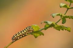Caterpillar de um machaon amarelo comum de Papilio do swallowtail na planta verde com laranja borrou o fundo Imagem de Stock