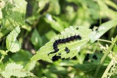 Caterpillar-de vlinderpauw verslindt ongeduldig bladeren van netel royalty-vrije stock afbeeldingen
