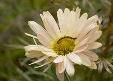 Caterpillar del Geometridae Fotos de archivo
