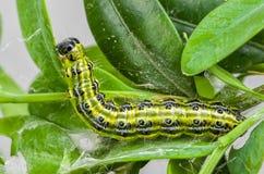 Caterpillar del lepidottero dell'albero della scatola fotografie stock libere da diritti