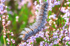 Caterpillar del lepidottero di Fox che scala nell'erica immagine stock