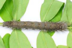 Caterpillar del lepidottero di mussolina marrone Immagine Stock Libera da Diritti