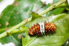 Caterpillar del lepidottero di volo di giorno (flabellicornis di histia) Fotografie Stock