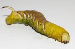 Caterpillar del ligustri della sfinge Fotografie Stock Libere da Diritti