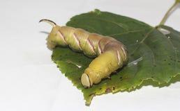 Caterpillar del ligustri della sfinge Immagine Stock