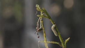 Caterpillar del machaon de Papilio almacen de metraje de vídeo