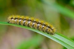 Caterpillar del purpurata di rhyparia della farfalla Fotografia Stock