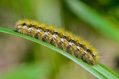 Caterpillar del purpurata di rhyparia della farfalla Fotografie Stock Libere da Diritti