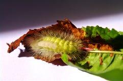 Caterpillar del tussock pallido Immagini Stock Libere da Diritti