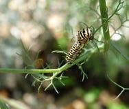 Caterpillar della farfalla nera di coda di rondine Fotografie Stock Libere da Diritti