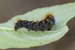 Caterpillar des knappen Dolches auf Blatt Lizenzfreie Stockbilder