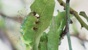 Caterpillar devouring almond leaf