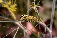 Caterpillar di buterflly, vicino su fotografia stock libera da diritti