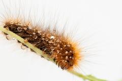 Caterpillar di un orso bruno Fotografie Stock