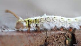 Caterpillar die langzaam kruipen stock video
