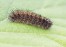 Caterpillar dipper autumn color. Royalty Free Stock Photo