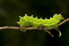 Caterpillar do grande pyri do Saturnia da traça do pavão imagem de stock royalty free