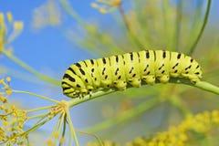 Caterpillar do machaon de Papilio, o swallowtail do Velho Mundo fotografia de stock royalty free