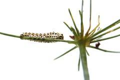 Caterpillar do swallowtail da borboleta - machaon, alimentações no aneto - erva-doce, vista inferior imagens de stock royalty free