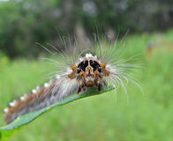 Caterpillar of Drinker-moth Royalty Free Stock Photography
