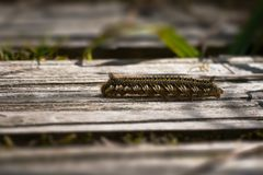 Caterpillar of drinker moth on weathered wooden board royalty free stock images