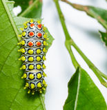 Caterpillar of Drury's Jewel moth on leaf Stock Photos