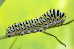 Caterpillar dymówka ogonu motyl Obraz Royalty Free