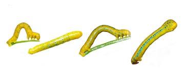 Caterpillar of Dysphania militaris moths Stock Images