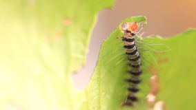 Caterpillar eat green leaves, HD Clip. stock footage