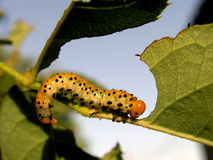 Caterpillar eating Royalty Free Stock Photo