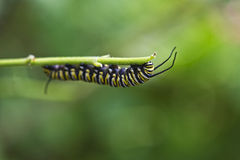 Caterpillar eating Stock Photo
