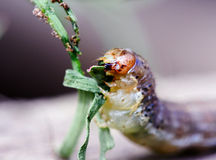 Caterpillar Eating Stock Photography