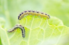 Caterpillar eating cabbage leaf stock image