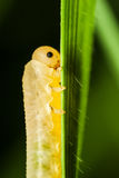Caterpillar eating a grass leaf. High magnification macro of small yellow half transparent caterpillar eating on green leaf of grass Royalty Free Stock Image