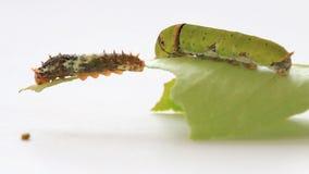Caterpillar eating green lemon leaf. stock video