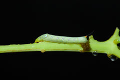 Caterpillar eating green plant with black background. Stock Image