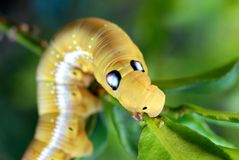 Caterpillar eating leaf Royalty Free Stock Photos