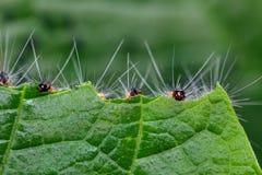 Caterpillar eating leaf Stock Photos