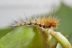 Caterpillar Eating Leaf Parts Stock Image