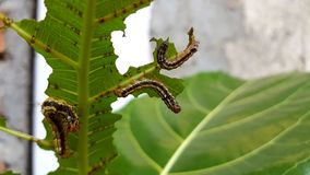 A caterpillar is eating leaves before becoming a butterfly