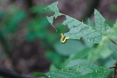 Caterpillar eating the leaves Stock Photo