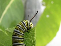 Caterpillar Eating Milkweed. Plant Leaf stock photography