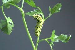 Caterpillar eating stock video footage