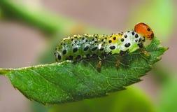 Caterpillar eats leaf. Stock Images